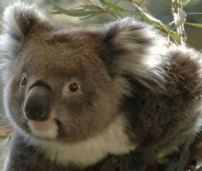 immersion totale Australie photo Koala